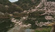 4月2日は永楽ダムの桜祭り&#x1f33……
