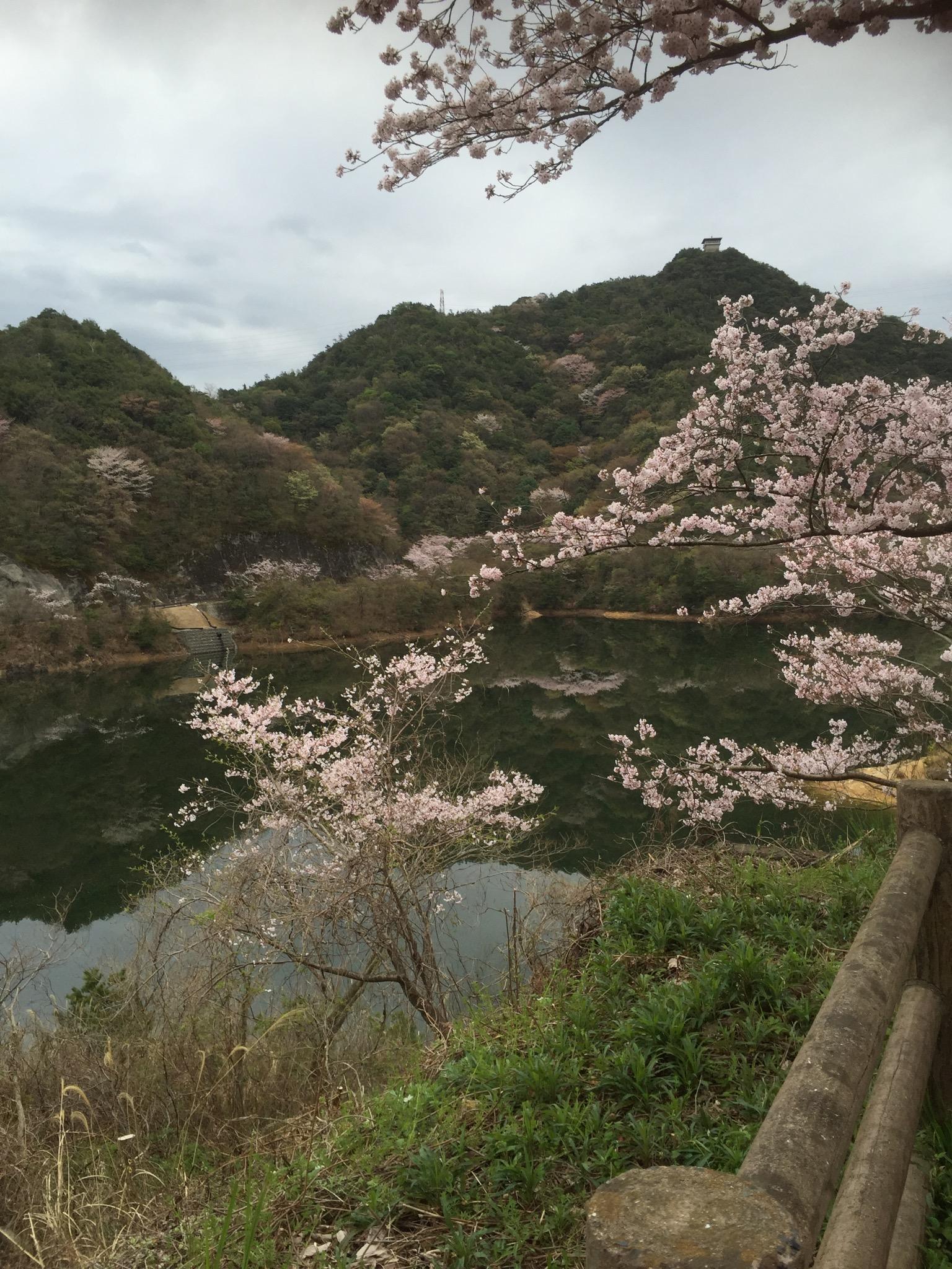 4月2日は永楽ダムの桜祭り🌸