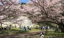 お花見(熊取永楽ダム桜祭り)に行ってきま……