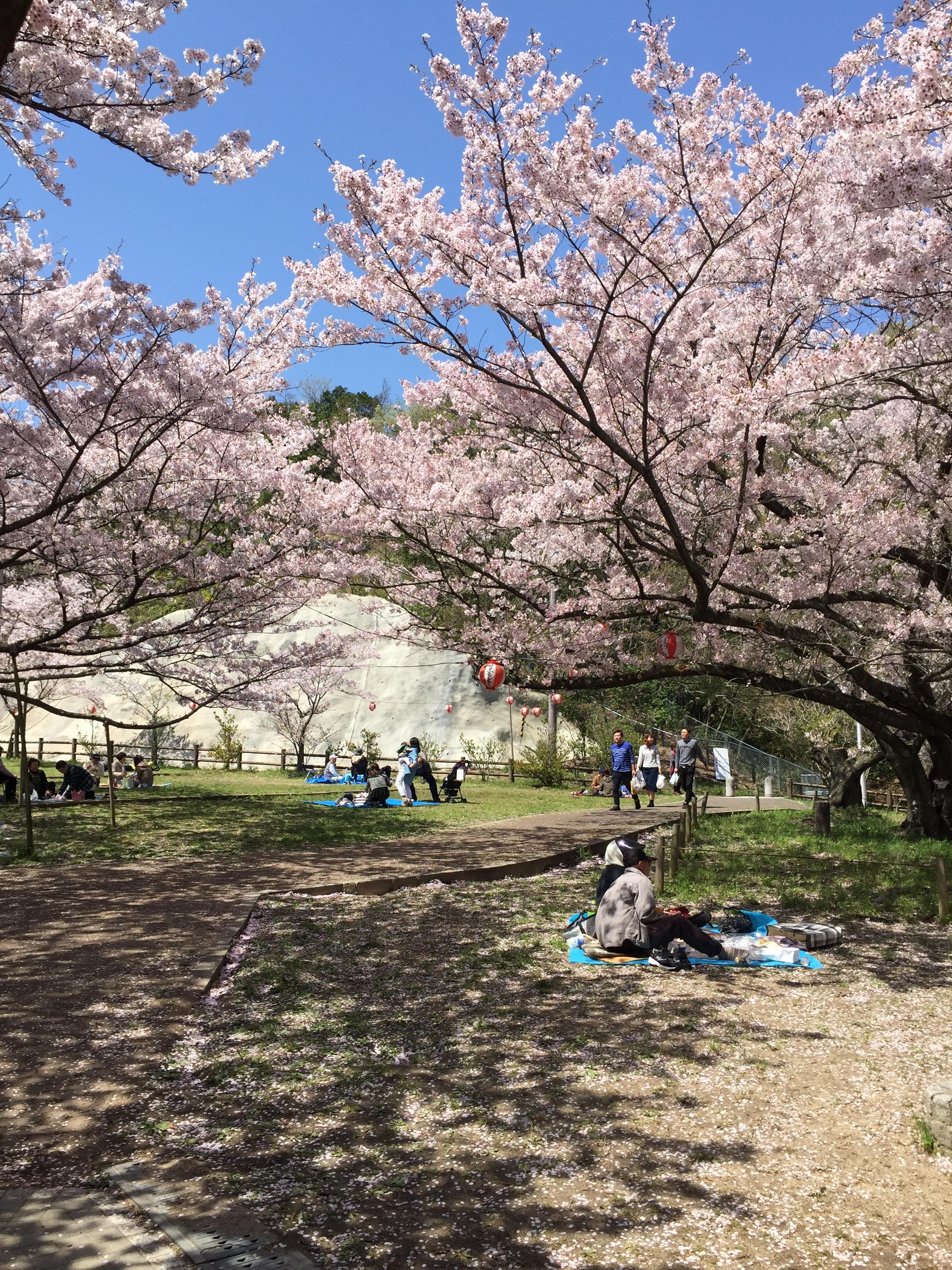 お花見(熊取永楽ダム桜祭り)に行ってきました。