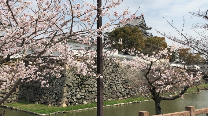 1サムネイル岸和田城の桜